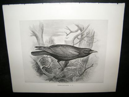 Frohawk 1898 Antique Bird Print. Carrion-Crow | Albion Prints